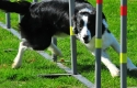 Minnie in slalom agility